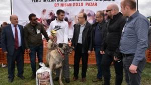 Türk Çoban Köpekleri Festivali Afyonkarahisar'da yapıldı