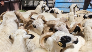 Anaç koyun keçi desteği 196 bin 116 yetiştiriciye 580 milyon lira 27 Mart Cuma günü yatacak
