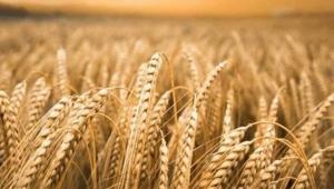 TMO Nisan ayında piyasaya ne kadar buğday, arpa, mısır satacak?