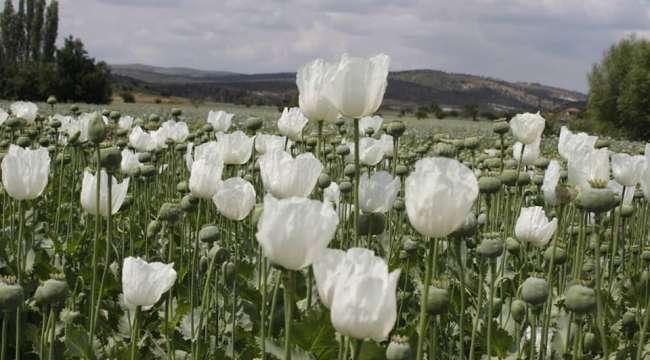 Haşhaş tarlalarında mor beyaz güzellik