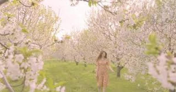 Afyonkarahisar'ın Sultandağı İlçesinde Kiraz bahçeleri büyülemeye devam ediyor